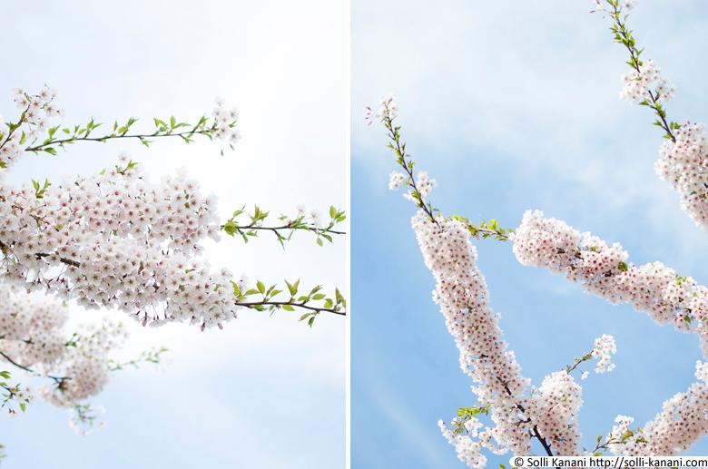 Cherry blossom trees in Copenhagen