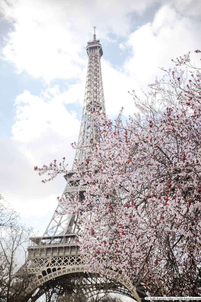 The Eiffel tower and cherry blossom trees in Paris