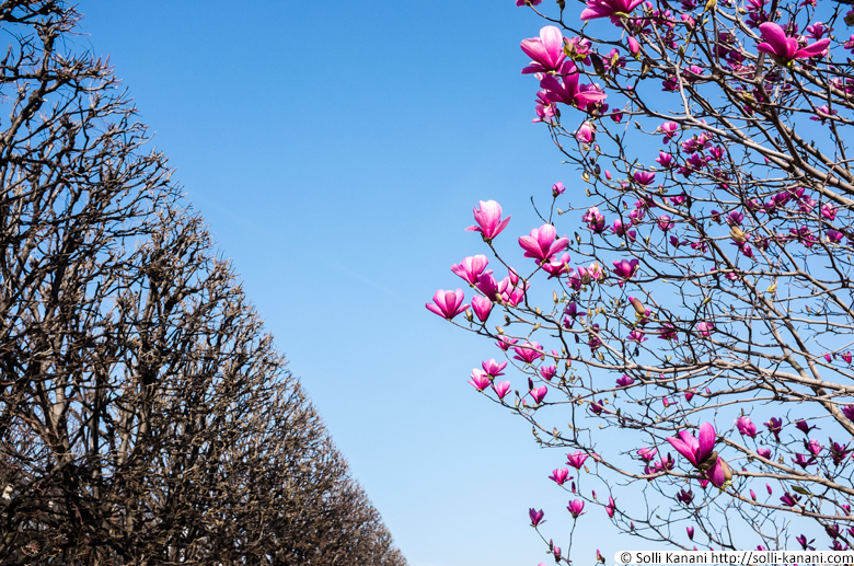 Magnolia trees in full bloom in Jardin du Palais-Royal in Paris