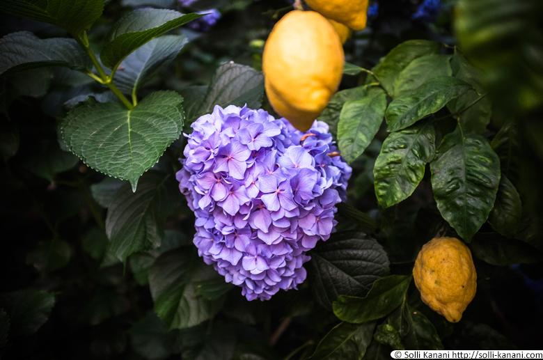 Lemon orchard in Massa Lubrense