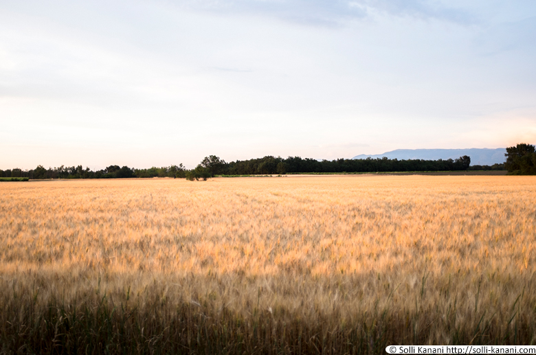 wheatfield-007