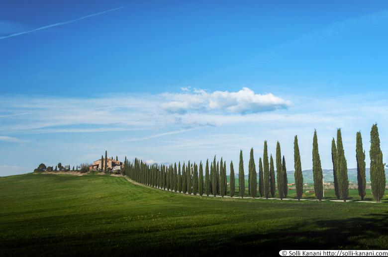 Tuscany cypress trees