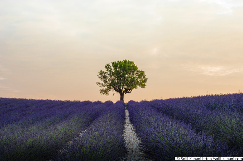 Lonely tree lavender Valensole