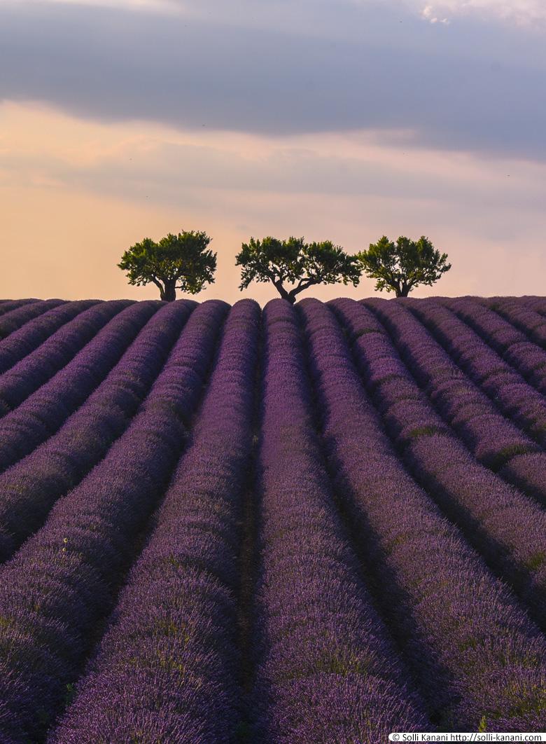 Photograph lavender Valensole