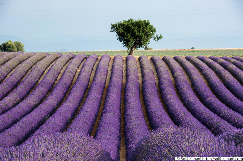The Purple Lavender fields in Provence
